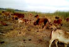 Photo of BSF Seized Huge Numbers of Cattle Heads