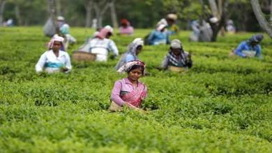 Photo of Serishpore Tea Estate on way to becoming illicit liquor free Estate