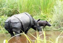 Rehabilitated Rhino Gives Birth to Second Calf in Manas National Park