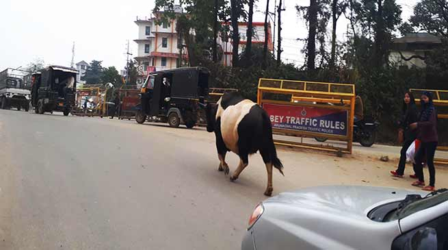Arunachal: Cattle moving on NH obstruct flow of traffic