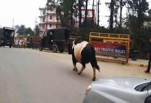Photo of Arunachal: Cattle moving on NH obstruct flow of traffic