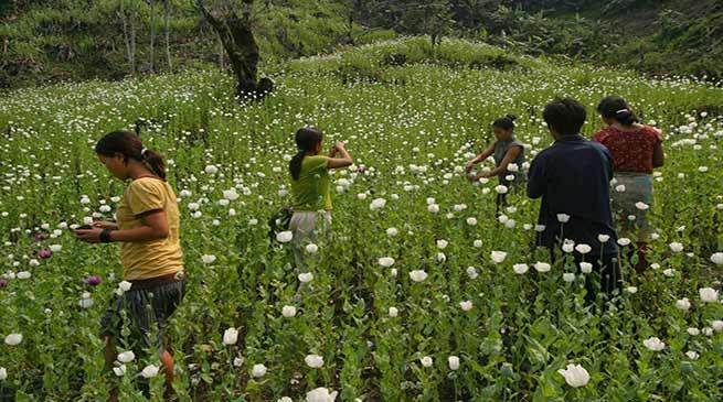 Arunachal Pradesh: 200 hectares of illegal poppy plantations destroyed in Namsai