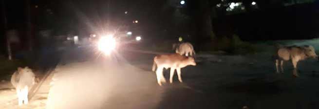 Itanagar:Animals still roam on the streets, Disregard of government orders