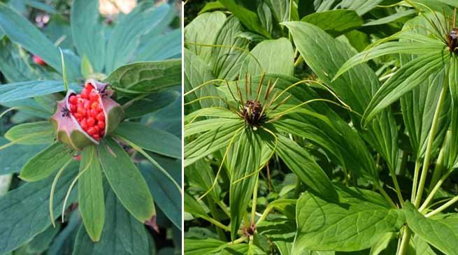 Arunachal: Jamoh raises Smuggling of rare medicinal plant issue