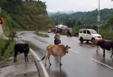 Photo of Itanagar: Stray cattle continue to pose threat to motorists in Capital complex