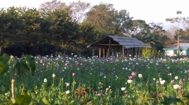 Arunachal:  Flourishing opium at Medo