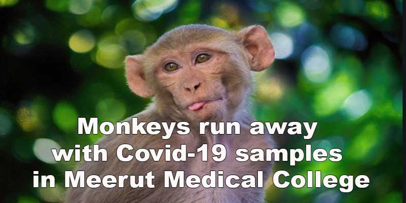 Monkeys run away with Covid-19 samples in Meerut Medical College