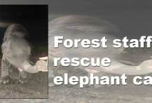 Photo of Arunachal: Forest staff rescue elephant calf from Remi WRC field