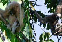 Itanagar: Two Hoollock Gibbons born in Itanagar Zoo