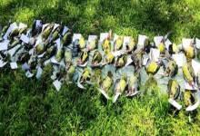 Arunachal: Covid warriors, ABSU intercepts bird hunters with 54 birds hunted birds