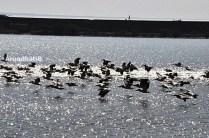 The Pelicans on the Salt Marshes