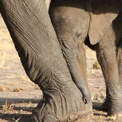 Baby Elephant resting.jpg