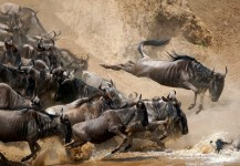 Tours and Safaris, wildebeest migration in serengeti