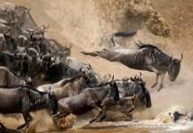 Tours and Safaris, wildebeest migration in serengeti