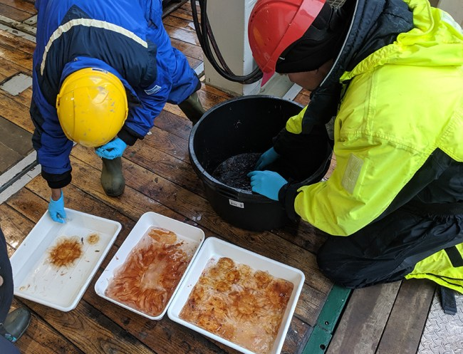 Scientist looking at species from Barents Sea