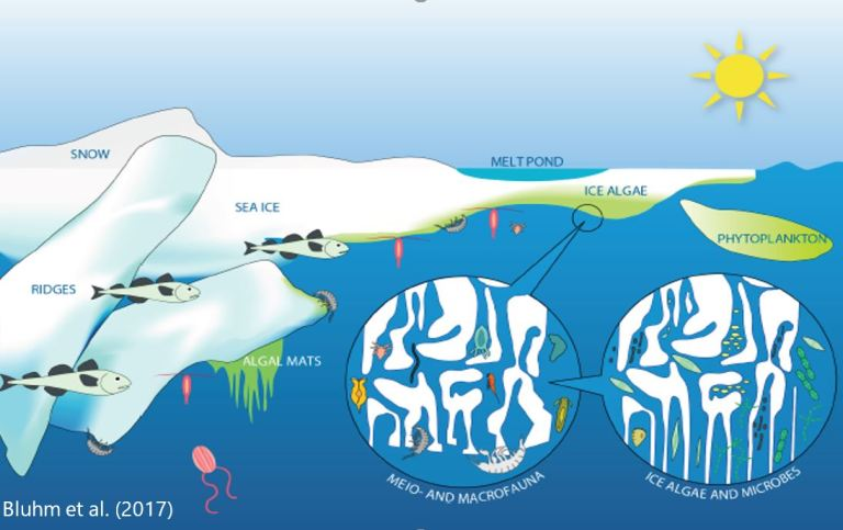 Illustration of the under and within sea ice community (taken from Bluhm et al. 2017).