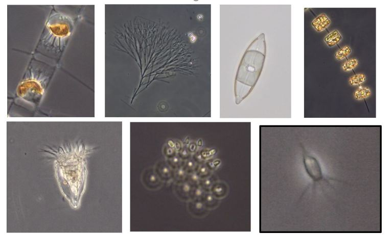 Phytoplankton (top row) are beautiful photosynthetic microorganisms that produce oxygen and organic carbon from CO2 and water. They are strong competitors of bacteria for limiting nutrients. So-called heterotrophic flagellates and ciliates (bottom row) are ferocious microbial predators of bacteria. Photos taken on board by Wencke Eikrem (NIVA) using a light microscope.