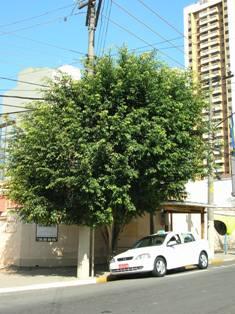 Ficus adulto, com sua copa tipica