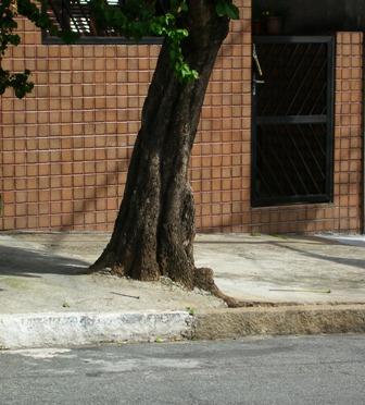 Árvore sufocada na Zona Leste de São Paulo. Ricardo Cardim