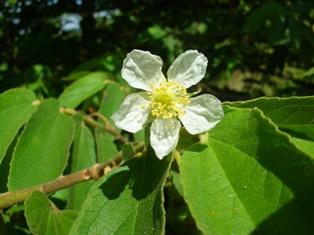 flor da calabura - Ricardo H Cardim