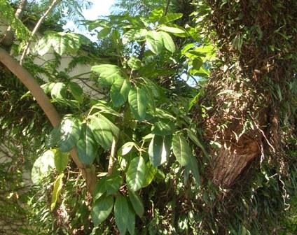 Cheflera epífita em jacaranda-mimoso no Jardim Europa