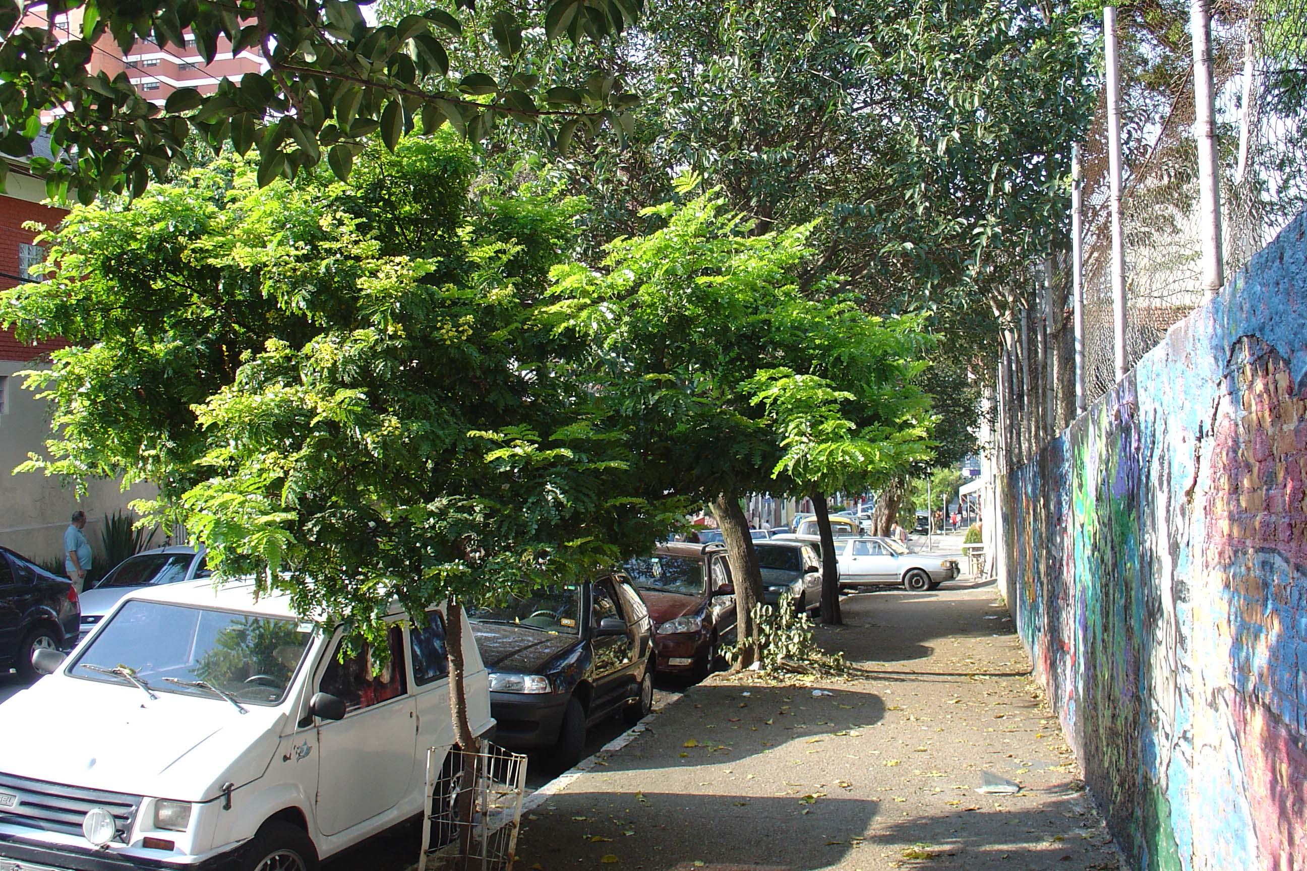 pau-brasil nas ruas de Perdizes