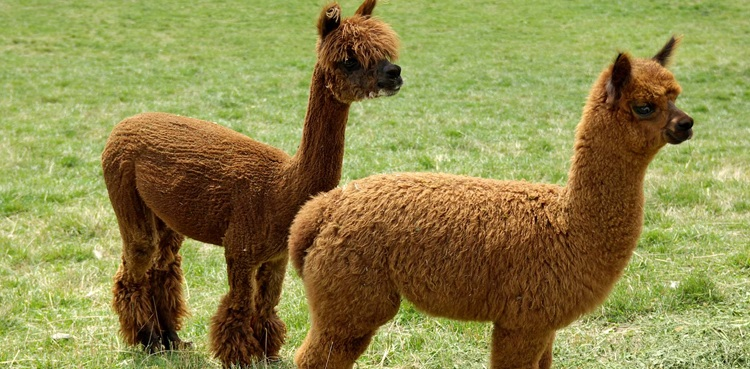 Photo of Alpacas antibodies potently neutralise coronavirus, declare researchers