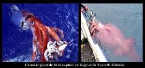 un-calamar-geant-capture