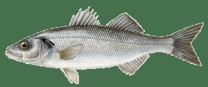 Bass_European sea bass-dicentrarchus_labrax_sw