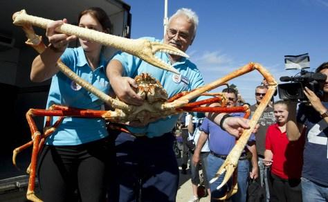 SCHEVENINGEN - Crabzilla, de grootste levende krab die ooit te zien was in Europa, wordt dinsdag uitgeladen na aankomst in Sea Life Scheveningen. Crabzilla is een Japanse reuzenspinkrab van ongeveer 40 jaar met een spanwijdte van vier meter. Hij werd vorig jaar gevangen in de Stille Oceaan en is vanaf dinsdagmiddag door het publiek te bewonderen. ANP MARCEL ANTONISSE