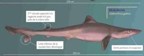 requin-ha