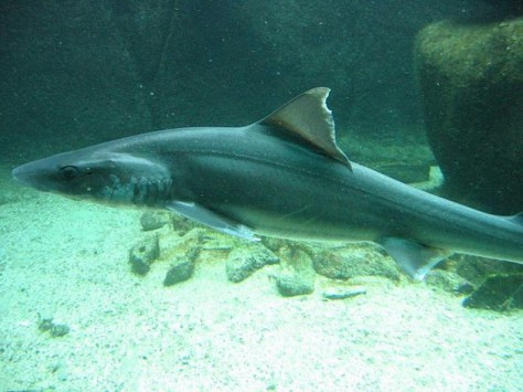 requin-emissole-cc-supermat-630x0