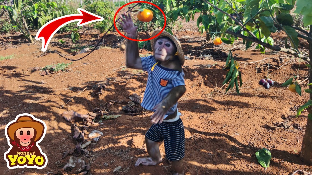 Read more about the article YoYo Jr picks fruit for dad eat
