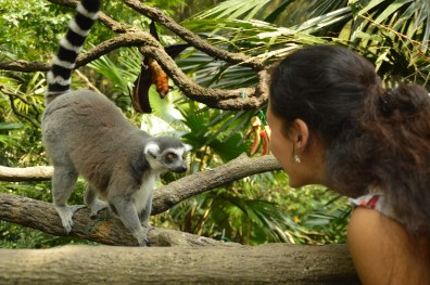A ringtailed lemur and I having a conversation