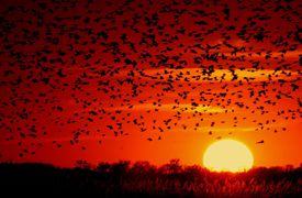 a large number of birds flying at sunset