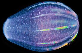 Microscopic comb jelly