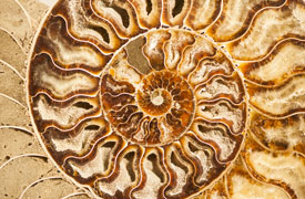 detail of an ammonite fossil
