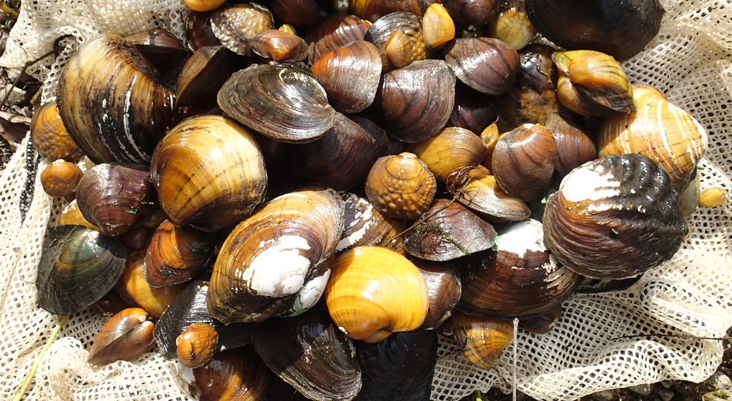 pile of freshwater mussels