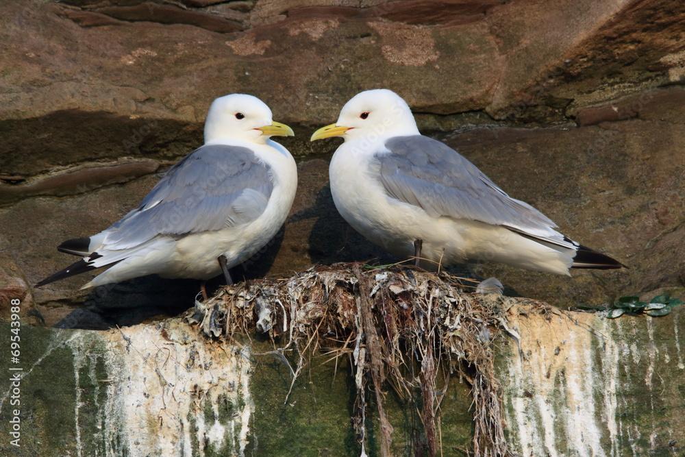 Gabbiani Tridattilo Uccelli Marini Isole Farne Scozia Wall Mural Wallpaper Murals Francescodemarco