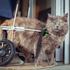 Wheelchair For Cats Dinner Table And Chairs Disabled Paralyzed Cat With Buy This Stock Photo