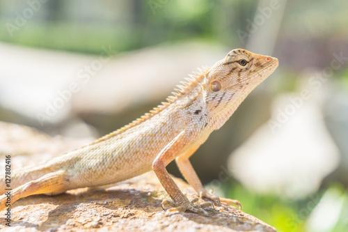 brown little lizard standing