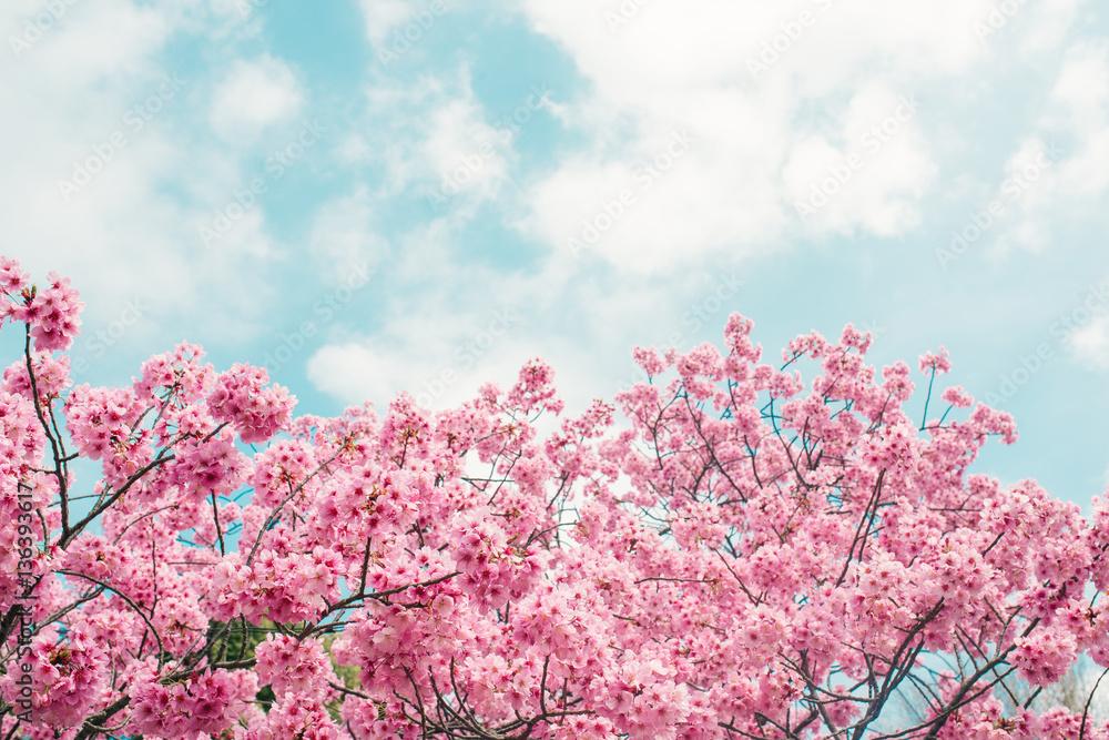 foto beautiful cherry blossom sakura in spring time over blue sky