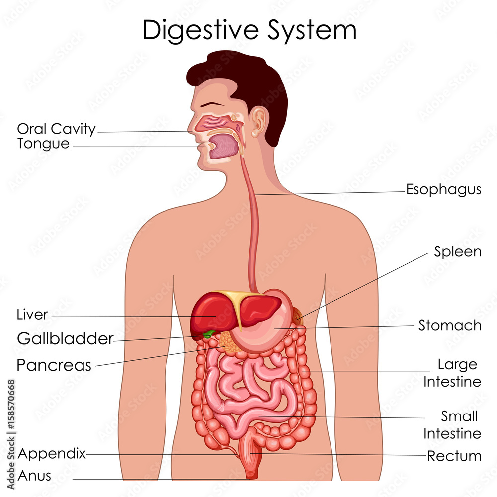 medium resolution of fotografie obraz medical education chart of biology for digestive system diagram posters cz