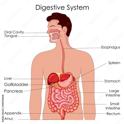 small resolution of fotografie obraz medical education chart of biology for digestive system diagram posters cz