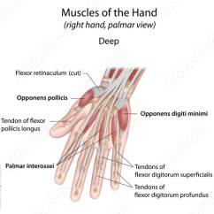 Skeletal Muscle Diagram Labeled 2002 Honda Civic Dx Radio Wiring Palm Great Installation Of Hand Muscles Deep Buy This Stock Illustration And Rh Adobe Com Leg