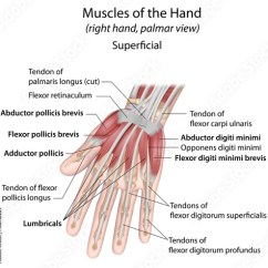 Palmar Hand Muscle Anatomy Diagram Woofer Wiring Muscles Aspect Superficial Labeled Buy This Stock
