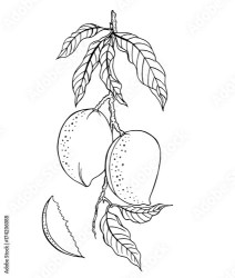 Branch with ripe mango fruit outline black and white drawing Buy this stock vector and explore similar vectors at Adobe Stock Adobe Stock
