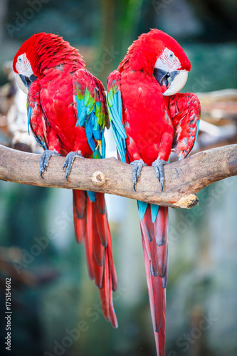 red macaw stand on