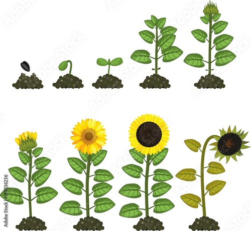 sunflower plant life cycle diagram 1995 honda civic dx stereo wiring growth stages from seed to flowering and fruit bearing