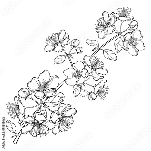 Vector branch with outline blossoming Apple flower bunch